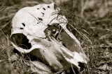 Black and white sheeps skull.jpg