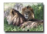 Pair of Lions.jpg