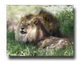 Pair of Lions 2.jpg