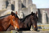 20090509 - Castle Horses
