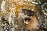 Northern River Otter - Rivier Otter - Loutre de Rivière