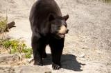 beren - bears - ours
