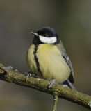 Koolmees-Great Tit