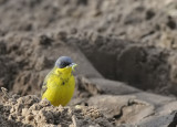 Noordse kwikstaart-Grey-headed Wagtail