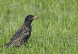 Spreeuw -Common Starling