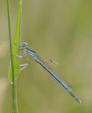 Blauwe breedscheenjuffer-White-legged Damselfly