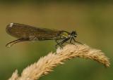 Weidebeekjuffer-Banded Demoiselle