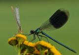 Blauwe breedscheenjuffer-White-legged Damselfly en Weidebeekjuffer-Banded Demoiselle