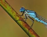 Watersnuffel-Common Bleu Damselfly