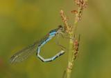 WatersnuffelWatersnuffel-Common Bleu Damselfly