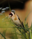 Putter-Goldfinch