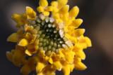 Egdeworthia