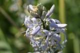 Himmelblauer Salbei