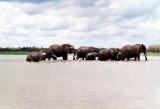 Elephants crossing Rufiji river