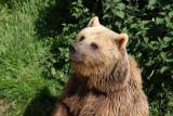 Europäischer Braunbär / European Brown Bear