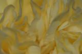 Nelke / Carnation