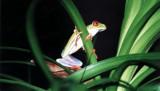 Rotaugenfrosch / gaudy leaf frog