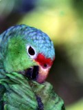 Rotstirnamazone / Red-lored Amazon