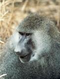 Anubispavian / Olive baboon