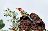 Flammenkopf-Bartvogel / red-and-yellow barbet