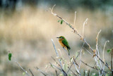Zwergspint / Little bee-eater