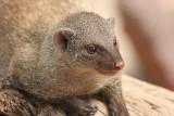 Zwergmanguste / Dwarf mongoose