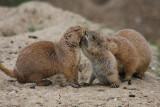 Präriehunde / Prairie dogs