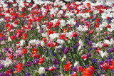 ... With excellent precision the tulip bed...