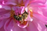 ... Ein Bienchen, das in Rosenblättern...