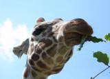 Wenn sich die Giraffen recken...