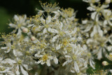 ... Meadowsweet, the chosen of them all...