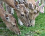 Shy in their herding dwell the fallow deer...