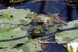 Ein Frosch im Teiche...