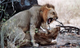 The Lion is a kingly beast...