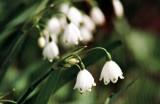 Märzenbecher / Spring Snowflake