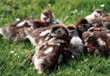 Nilgänse / Egyptian geese