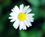 ... Looked the Daisy boldly...