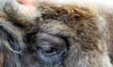 Wisent / European bison