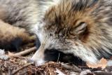 Marderhund / Raccoon dog