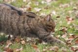 Wildkatze / Wild cat