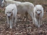 Polarwölfe / Polar wolves