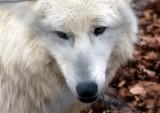 Polarwolf / Polar wolf