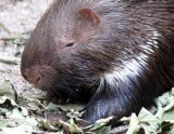Stachelschwein / porcupine