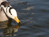 trinkende Streifengans / bar-headed goose drinking