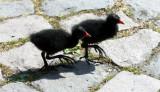Teichrallenküken / Moorhen chicks