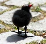 Teichrallenküken / Moorhen chick