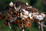 verblühte Hortensie / dead hydrangea