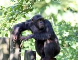 ... behold the Chimpanzee...