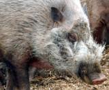 Bartschwein / bearded pig