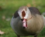 Nilgans / Egyptian goose